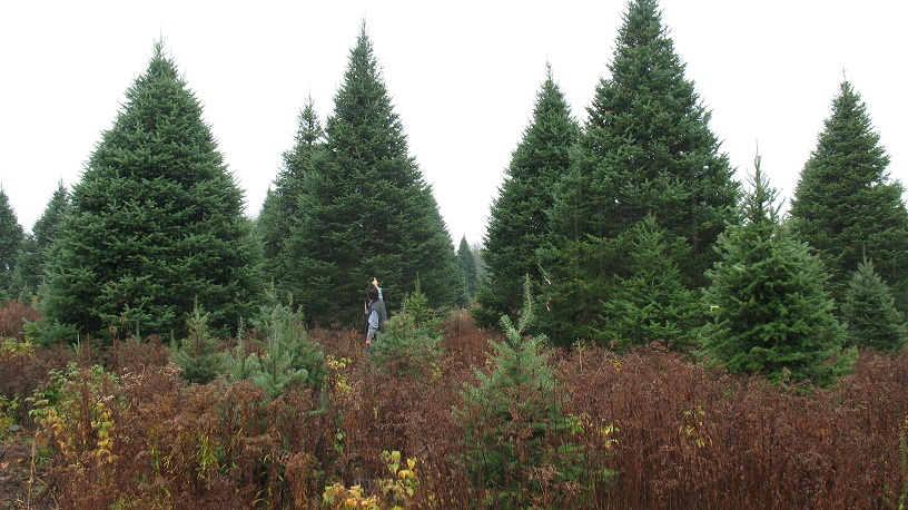 large balsam christmas trees